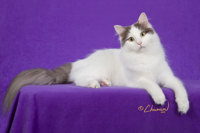 c6ea1983b32d39 Halima Turkish Van Cattery - Cattery NEWSOur up and coming show boy Halima  Mjolliner Hammer of Thor Halima Cattery is going to Denmark in October  2015to ...