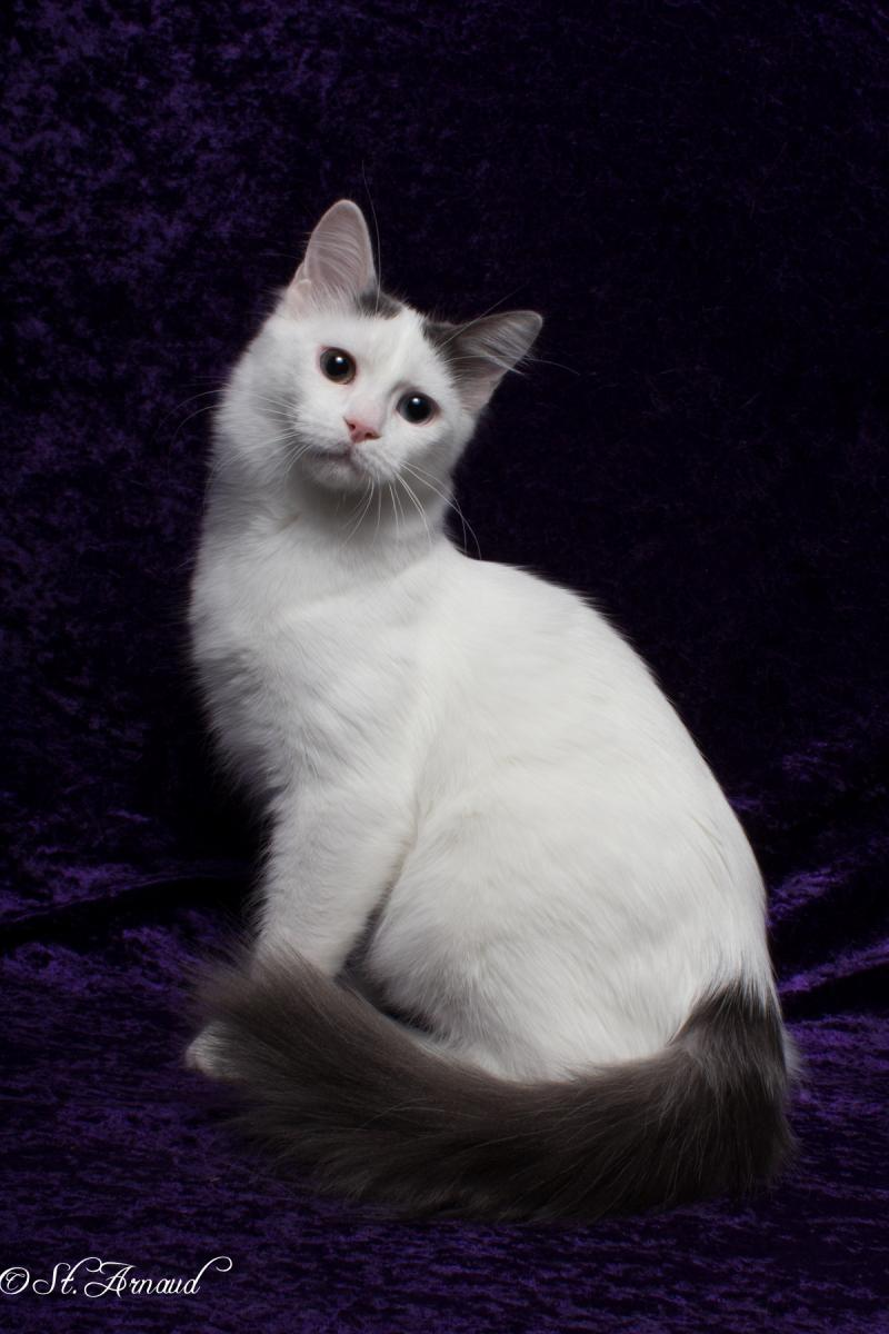 db319c774c Halima Cattery is going to Denmark in October 2015to bring back a beautiful  blue and white amber eyed girl to add to our breeding program. Meet Cat  Zahlez ...